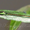 Male Rambur's Forktail