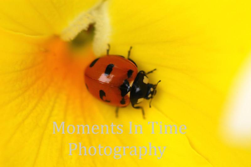 Ladybug on yellow close