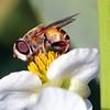 Flower Flies View 2