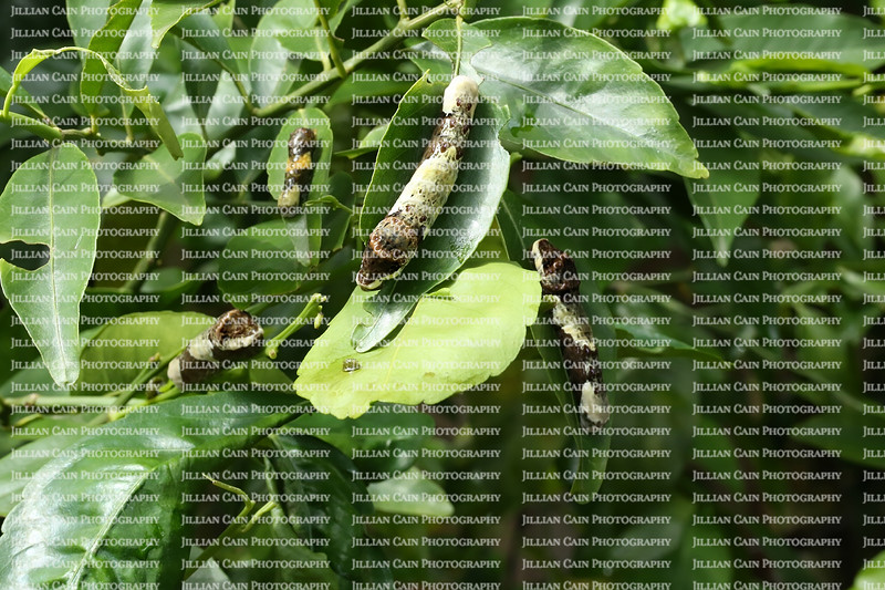 4 Giant Swallowtail caterpillars