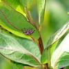 Hiding In The Milkweed Leaves
