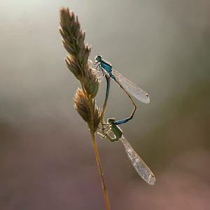 💕 Damsel love at sunset 💙