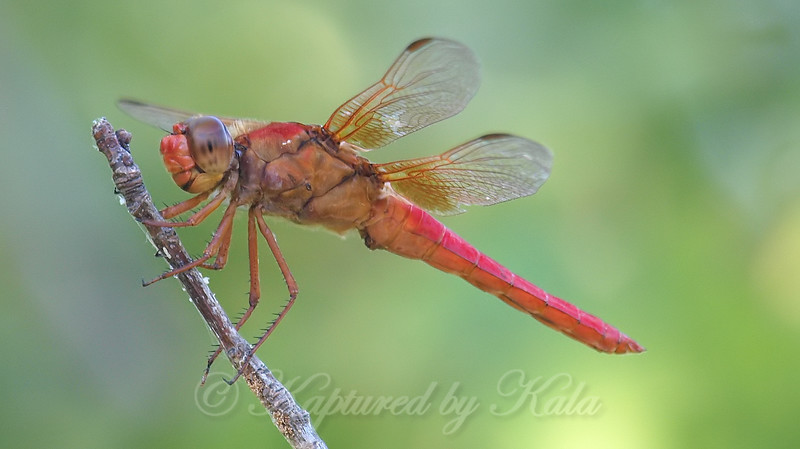 Neon Skimmers Are Friendly Dragonflies