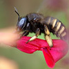 Carpenter Bee Close Up