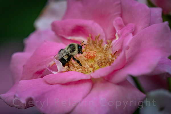 Bumble Bee Pollinator and Bougainville Rose