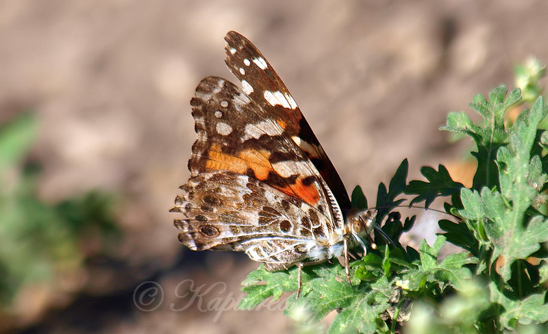 My 1st Painted Lady Butterfly View 2