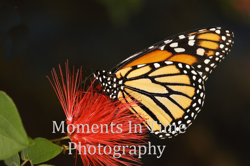 Monarch on puff ball