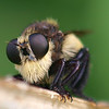 Robberfly Face Shot