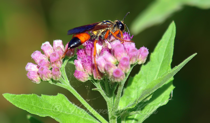 Female Great Golden Digger Wasp