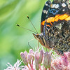 Red Admiral on Joe Pye Weed