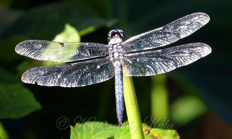 Diamond Encrusted Dragonfly