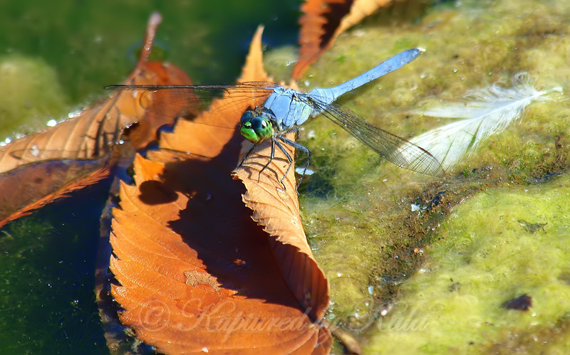 Still Life With Dragonfly
