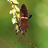 Eastern Leaf-footed Bug