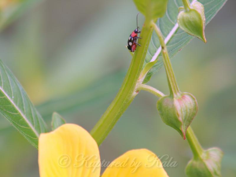 New Beetle On Narrow-leaf Water Primrose