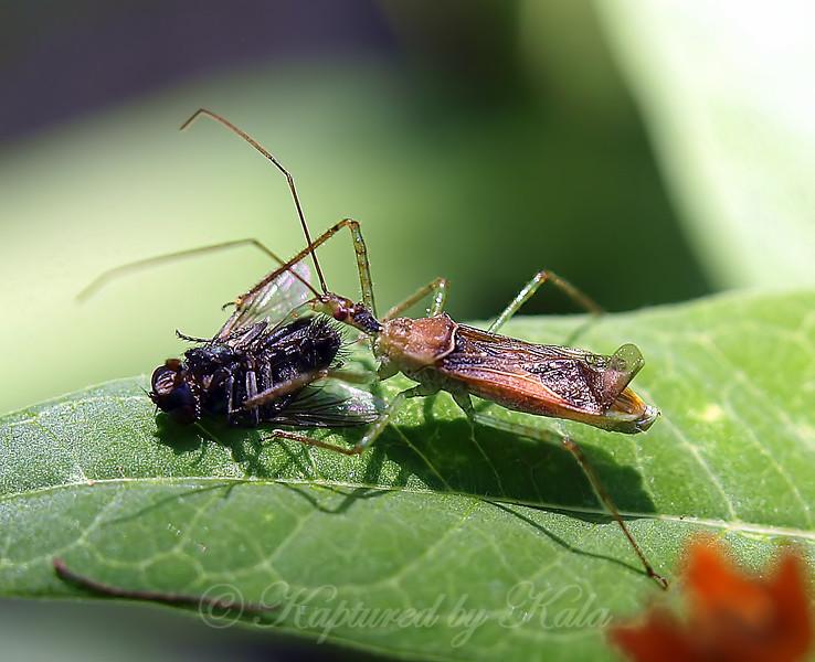 Assassin Bug And Prey