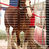 Beautiful Clydesdales being groomed
