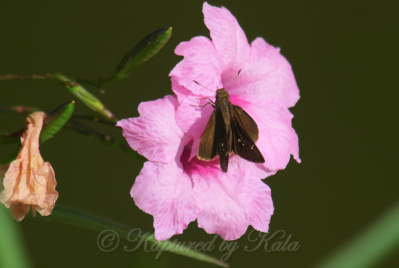 Mexican Petunia With A Clouded Skipper