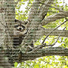 Large raccoon tucks himself into the crutch of a huge oak tree and proceeds to clean his fur before taking a nap.