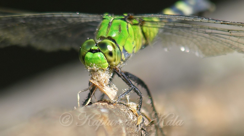 Pondhawk Snacking On A Moth