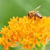 Honeybee On Swamp Milkweed