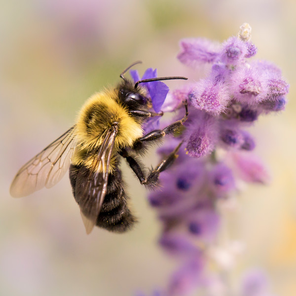 Bumble Bee on Russian Sage