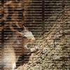 Cute squirrel running around a large oak tree