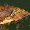 Jade Clubtail On A Leaf
