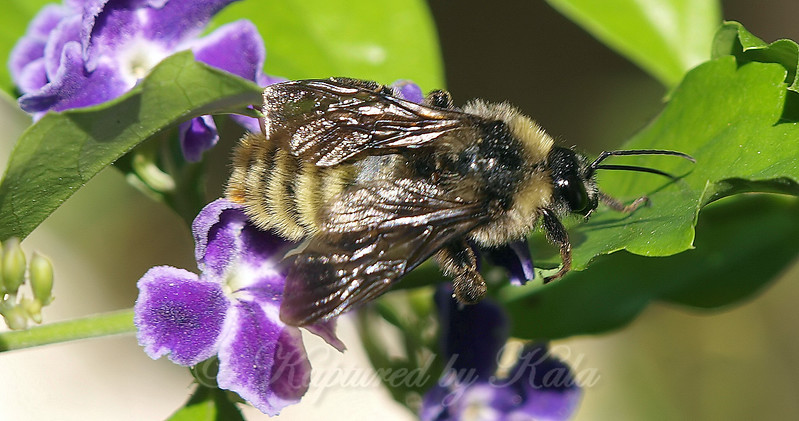 Golden Northern or Male American Bumble Bee?