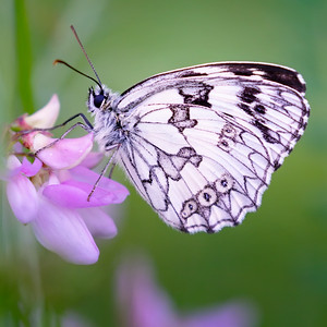 Marbled white...