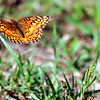 Variegated Fritillary In Flight