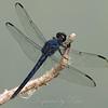 Male Slaty Skimmer