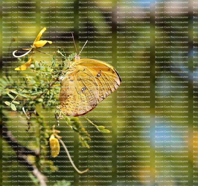 Orange Barred Sulphur arches it's white abdomen and lays eggs on a Desert Cassia tree.