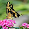 My 1st Eastern Giant Swallowtail