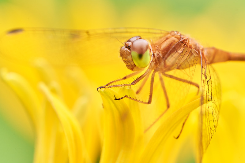Dragonfly on Brown-eyed Susan