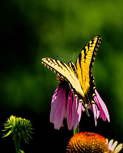 Tiger Swallowtail Butterfly, male