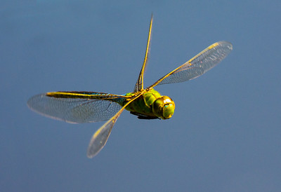 Dragonfly against the blue sky, attempting to dive bomb the photographer! Nikon D7100, Nikon 300mm AF-S w/ TC-14eII