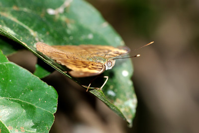 This moth was found on Mount Adaklu, a large free standing mountain in eastern Ghana.