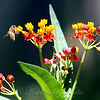 Milkweed Flowers With Honey Bee