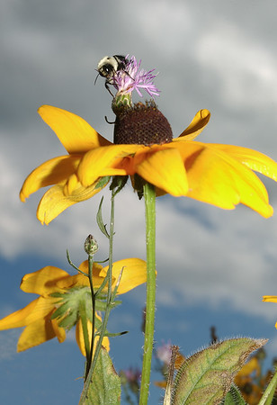 Bee atop a Sunflower - Michigan's Upper Peninsula - 2002