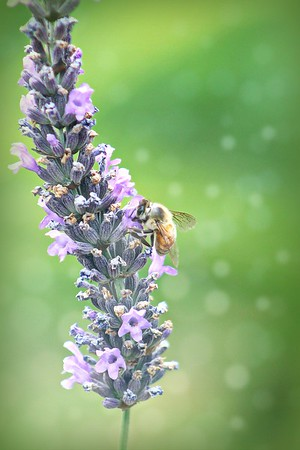 The Bee and Lavender