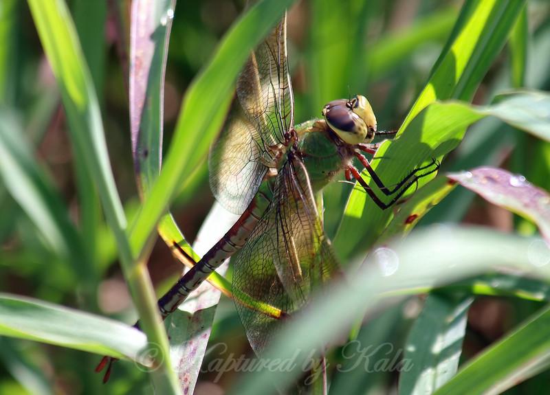 Female Common Green Darner