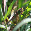 Female Common Green Darner