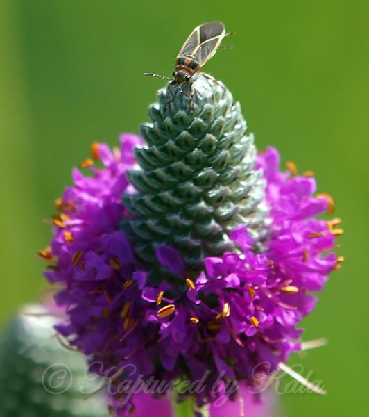 Seed Bug On Purple Prairie Clover