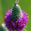 Seed Bug On Purple Prairie Clover