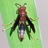 Metricus Paper Wasp View 2