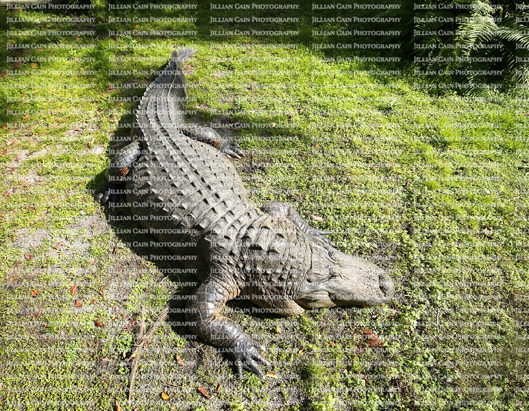 Looking down at an American Alligator basking in the sun.