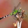 Young Male Eastern Pondhawk