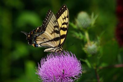 """""""Shenandoah Butterfly 3"""""""