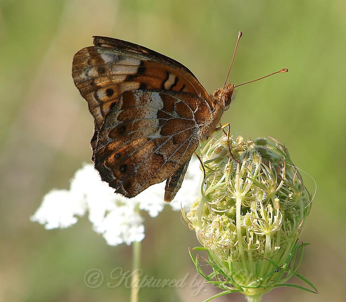 Variegated Fritillary On Queen Anne's Lace