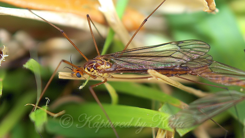Female Tiger Crane Fly